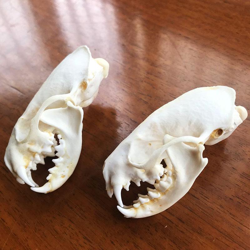 fine animal specimens skull gifts skulls /&004 5pcs Real mink skulls