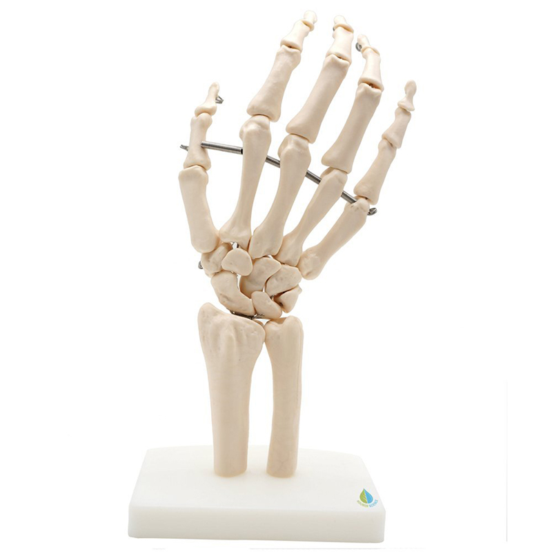 Life Size Skeletal Hand And Wrist Model Medical Special Complete