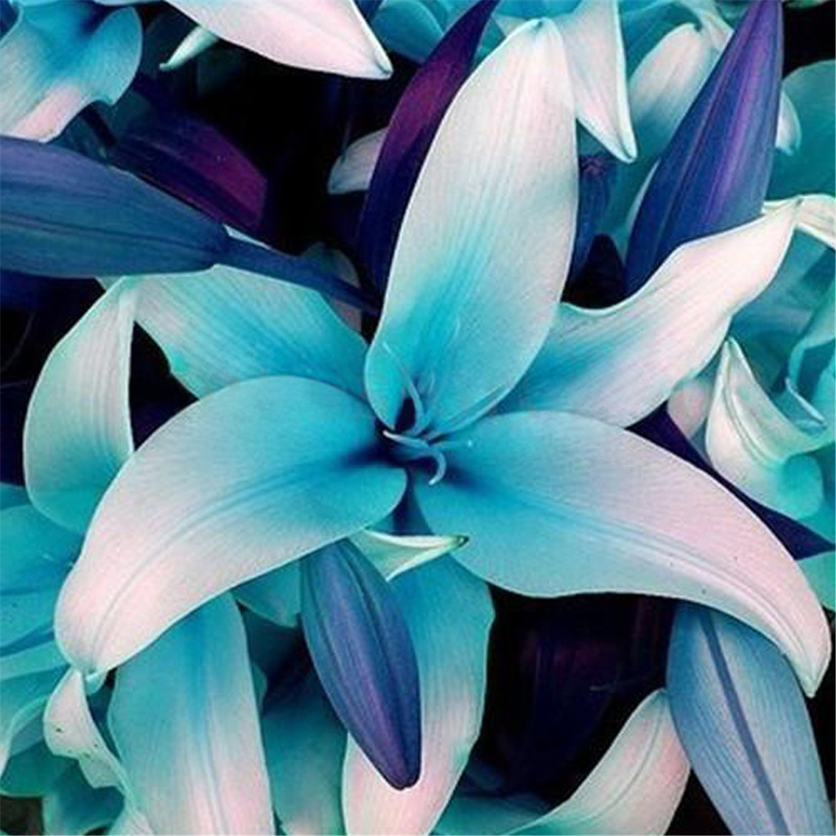 50pcs blue rare lily bulbs seeds planting flower lilium perfume 50pcs blue rare lily bulbs seeds planting flower lilium perfume garden decor izmirmasajfo